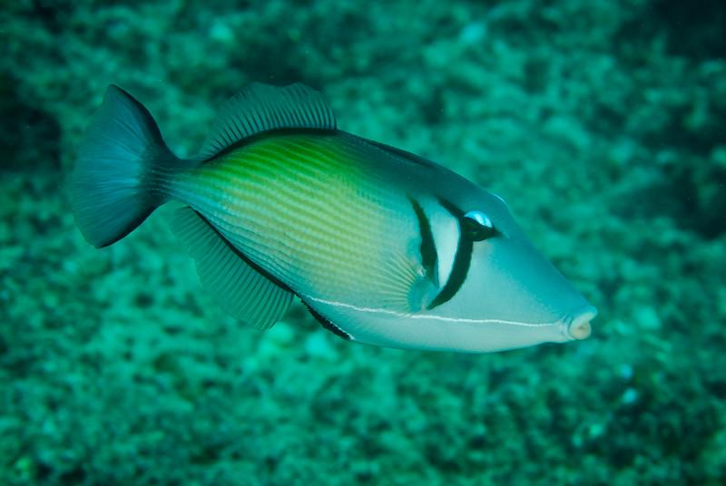 Whiteline Triggerfish (Sufflamen bursa)