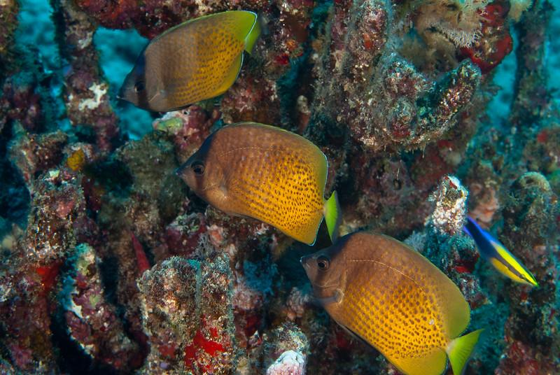 Blacklip Butterflyfish (Chaetodon kleinii)