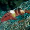 Manybar Goatfish (Parupeneus multifasciatus)
