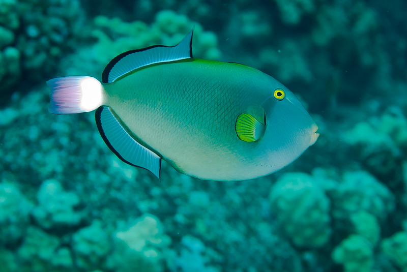 Pinktail Triggerfish (Melichthys vidua)