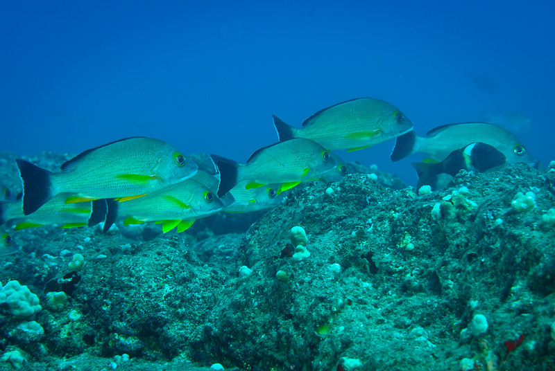 Blacktail Snapper (Lutjanus fulvus)