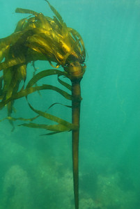 """© Joseph Dougherty. All rights reserved.    Nereocystis luetkeana  (K.Mertens) Postels & Ruprecht 1840 Bull Kelp Phylum Heterokontophyta, Class Phaeophyceae, Order Laminariales, Family Laminariaceae  Nereocystis (Greek for """"mermaid's bladder"""") is a genus of kelp. It forms thick beds on rocks, and is an important part of kelp forests. There is only one species, Nereocystis luetkeana. It can grow to a maximum of 74 meters.   Along with Gian Kelp, Macrocystis pyrifera, this is the largest known nonvascular plant in the world.   Nereocystis has a holdfast of about 40 centimeters, and a single stipe, topped with a pneumatocyst containing carbon monoxide, from which sprout the numerous (about 30-64) blades. The blades may be up to 4 meters long, and up to 15 centimeters wide. It is usually annual, sometimes persisting up to 18 months. Nereocystis is the only kelp which will drop spore patches, so that the right concentration of spores lands near the parent's holdfast. It is common along the coast of the northeastern Pacific Ocean, from about Monterey, California to Aleutian Islands, Alaska.  Some common names include edible kelp, bull kelp, bullwhip kelp, ribbon kelp, giant kelp, bladder wrack, and variations on these names."""