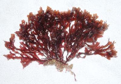 © Joseph Dougherty. All rights reserved.    Botryoglossum farlowinianum   Farlow's Red Algae Phylum Rhodophyta, Class Florideophyceae  This red alga found subtidally ranges from 10 to 16 cm in length, and possess uniquely furry and ruffled edges. When viewed in the light, veins appear in the blades of this alga that do not anastomose (intertwine extensively).