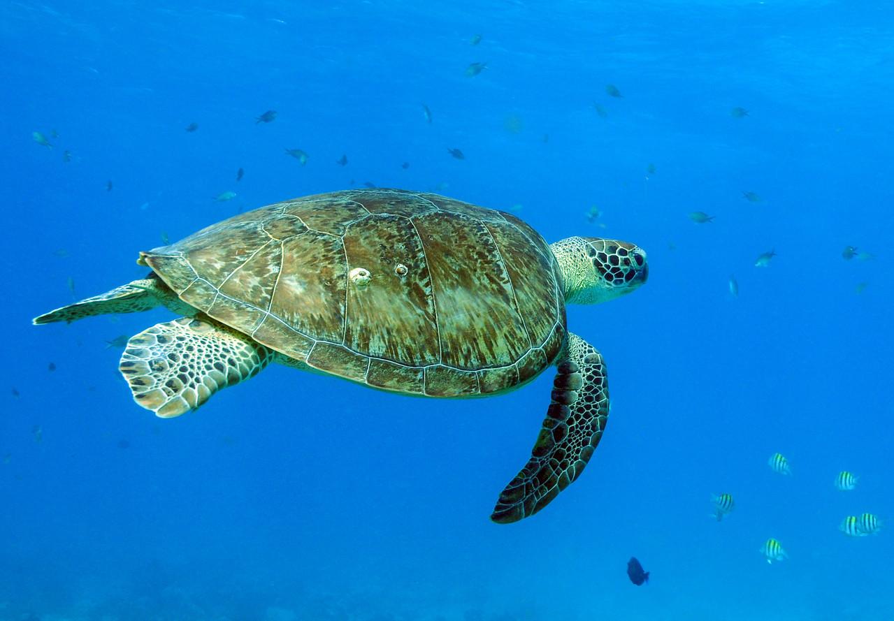 Green Sea Turtle - Key Largo 2009