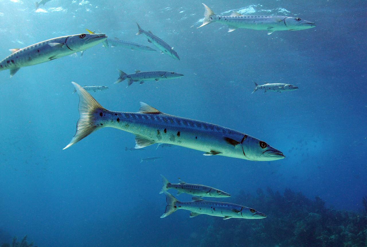 Hovering Great Barracudas - Key Largo 2009