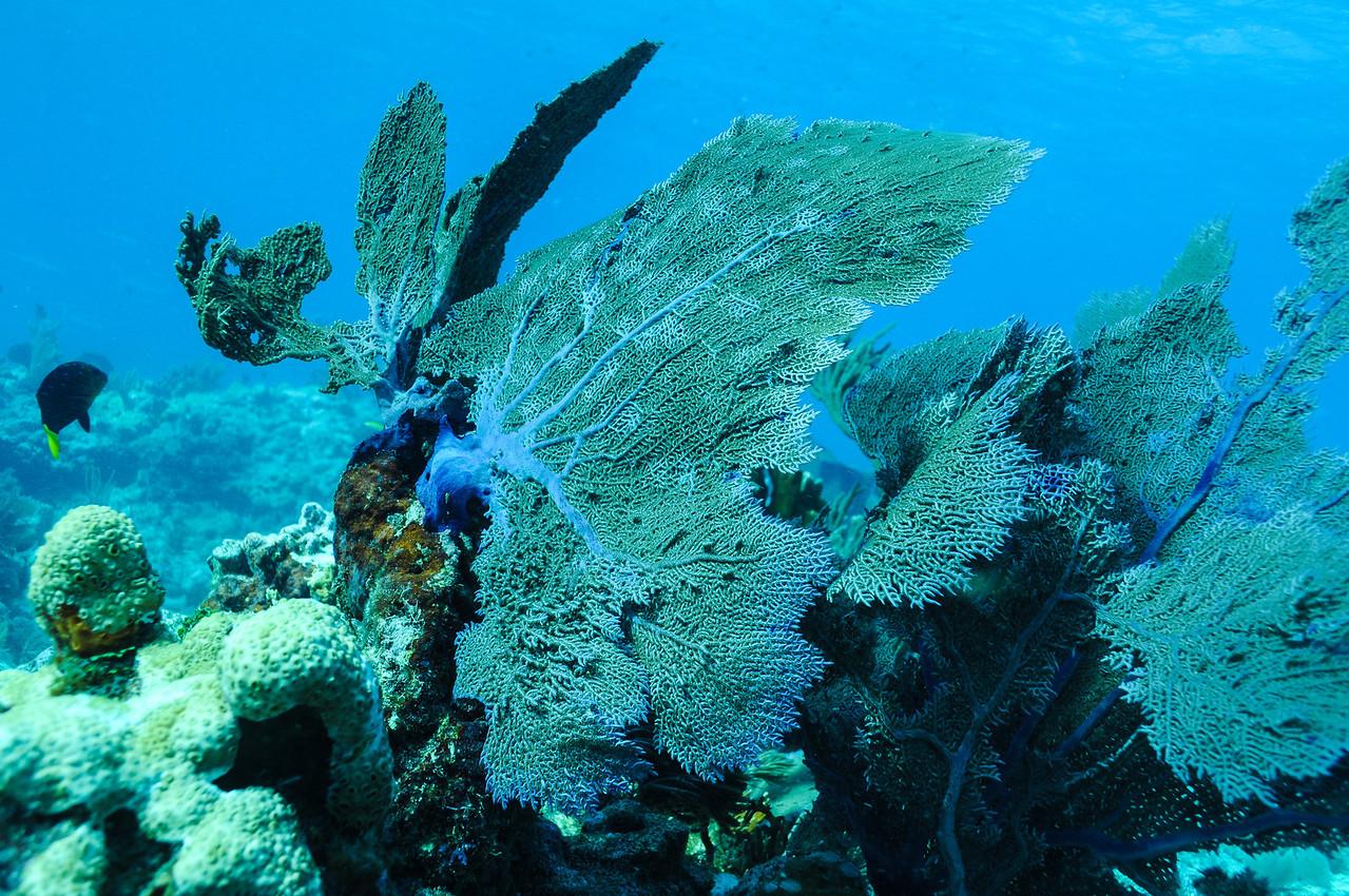 Purple Sea Fan - Key Largo 2009
