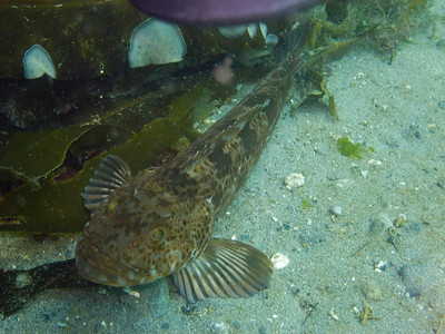 Ling cod