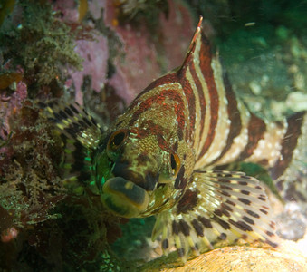 Kiss me, I'm a painted greenling!
