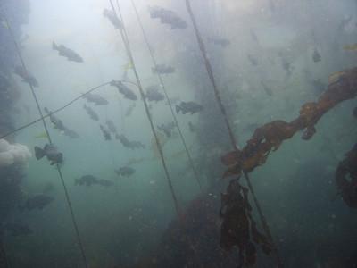 Black rockfish among the pilings