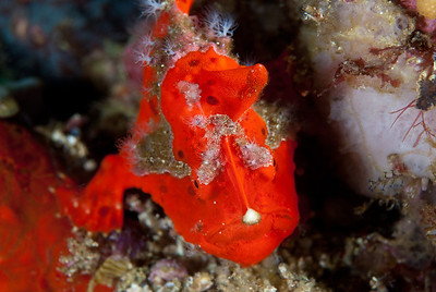 A Painted Frogfish wiggles the lure at the top of its head to entice a small fish to pass too close.  Komodo National Park, Indonesia.