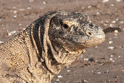 Komodo Dragon.  The fearsome Komodo Dragon is the dominant predator on Rinca Island in Komodo National Park, Indonesia.  An endangered species, there are only 3,000 to 5,000 dragons in the wild throughout the world.