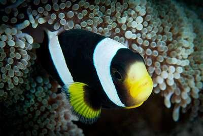 A Saddleback Anemonefish peers from the protective tentacles of its host anemone.  Komodo National Park, Indonesia.