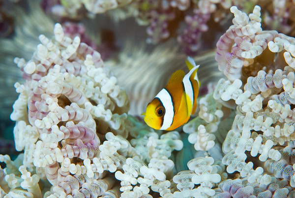 Clark's Anemonefish.  Komodo National Park, Indonesia.