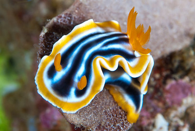 The Magnificent Chromodoris is one of my favorites among all species of nudibranch.    Komodo National Park, Indonesia.