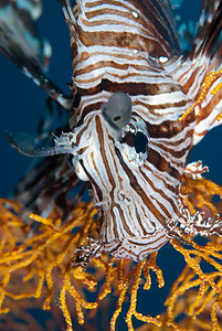 A close-up view of a Common Lionfish resting on soft coral.  Komodo National Park, Indonesia.
