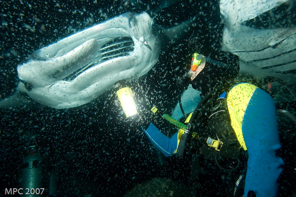 Diver with Manta Rays.  These were two of the 15 that showed up on this dive.
