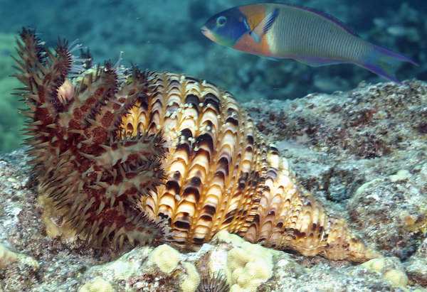 Triton's Trumpet eating a Crown of Thorns Starfish.