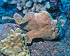 Frogfish 5