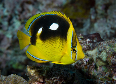 Fourspot Butterflyfish are very common on the Kona reefs.  They derive their name from the large white spots on either side.