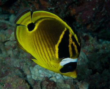 Racoon Butterflyfish.