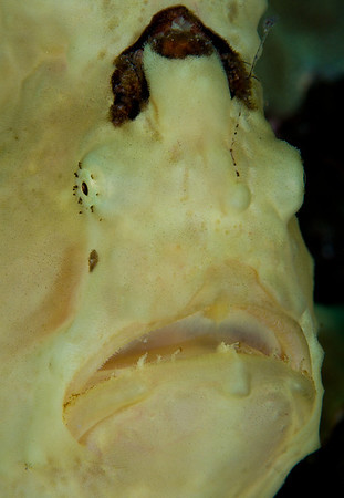 The downturned mouth of the Frogfish can open in a flash to almost the size of its entire body.  The unsuspecting fish that was careless enough to venture too close doesn't have a chance.