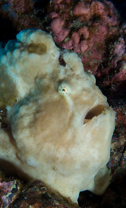 The Giant Frogfish sits motionless until its prey wanders too close.  And then it strikes with blinding speed.