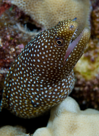 A Whitemouth Moray Eel peers from a crevice in the coral reef.