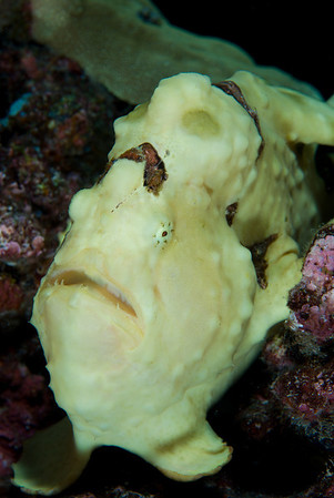 Frogfish have pectoral fins that resemble feet.  They actually use them to perch on the reeftop.  Frogfish can remain motionless for a long time, patiently waiting for a small fish to venture too close.