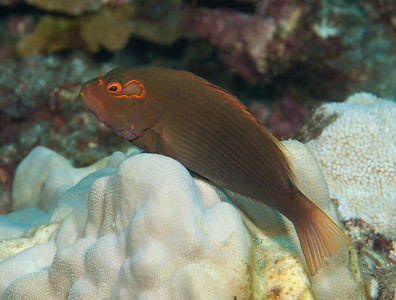 An Arc-Eye Hawkfish perches on a coral head.  Look at him the wrong way, and he is gone in a flash.