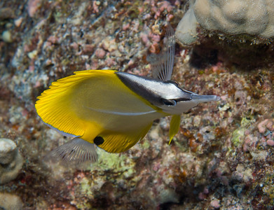 The Longnose Butterflyfish executes graceful pirouettes as it dances across the coral reef.