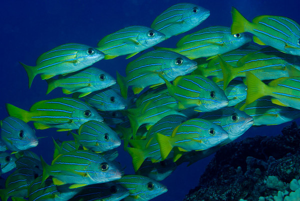 A school of Bluestripe Snappers cruises the Kona reeftop.
