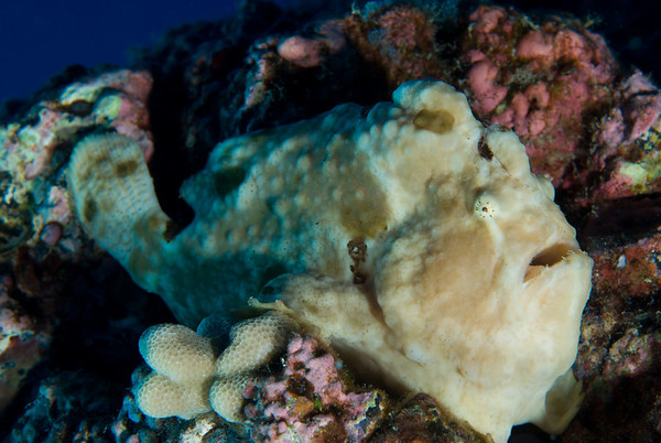 A Giant Frogfish measures to 30 cm (12 in) in size.  It is difficult for the untrained eye to spot them as they camouflage themselves against the corals and sponges on the reeftop.