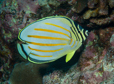 The Ornate Butterflyfish is among the most beautiful reef fishes in Kona.