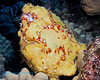 Frogfish 3