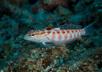 The Red-Spotted Sandperch is in constant motion, flitting to and fro, but never far from its burrow in the sand.