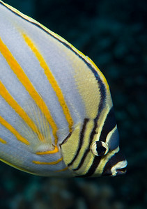 Ornate Butterflyfish.