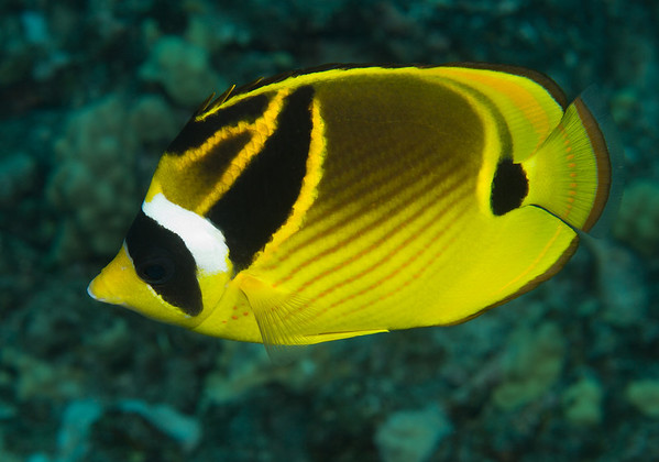 A Racoon Butterflyfish patrols the reeftop.