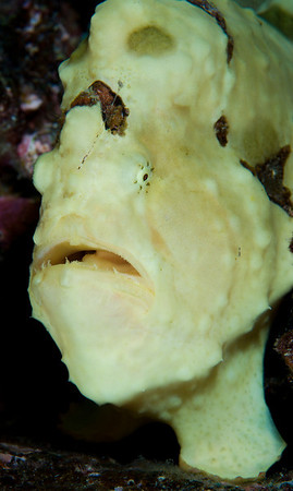 Frogfish are ambush predators.  Their warty, mottled appearance allows them to resemble a sponge and blend into their surroundings.  A fleshy appendage on its snout serves as a tempting lure to unsuspecting passers-by.