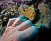 Frogfish Juvenile