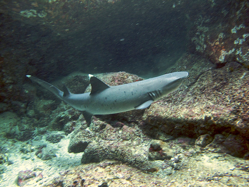 White Tip Reef Shark, Pu'uhonua o Honaunau, Big Island, Hawaii.