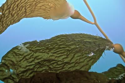 Small Nudibranch on Kelp.