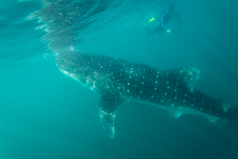 Whale Shark in La Paz, Mexico - January 2015
