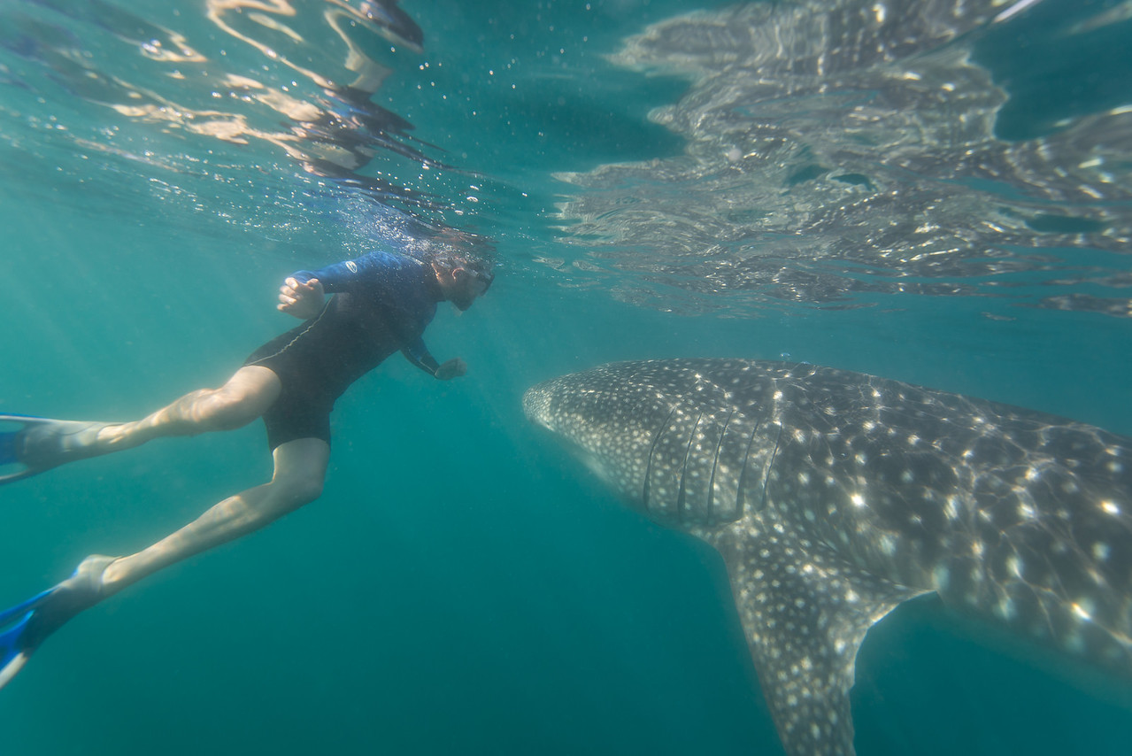 Young Whale Shark in La Paz, Mexico - January 2015