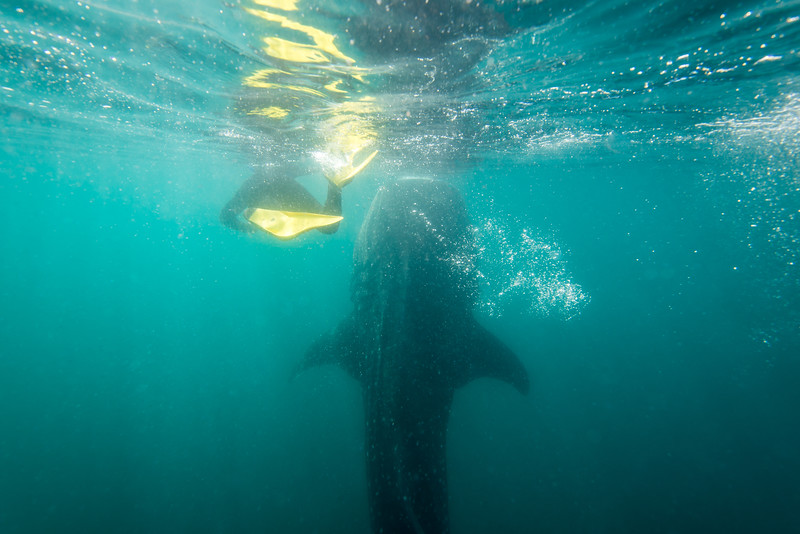 Vertical (feeding) Whale Shark in La Paz, Mexico - January 2015