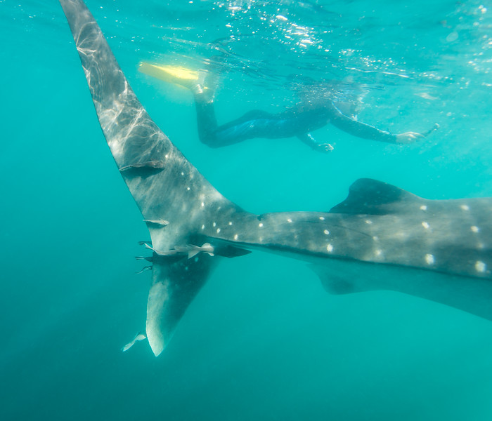 Snorkeler providing scale to Whale Shark in La Paz, Mexico - January 2015