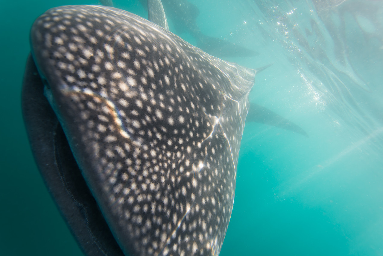 A very close encounter with Whale Shark in La Paz, Mexico - January 2015