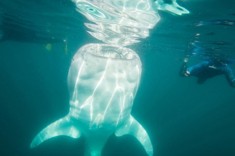 Whale Shark feeding in La Paz, Mexico - January 2015