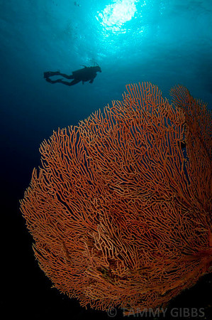 Seafan and diver