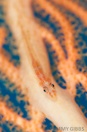 Goby on seafan