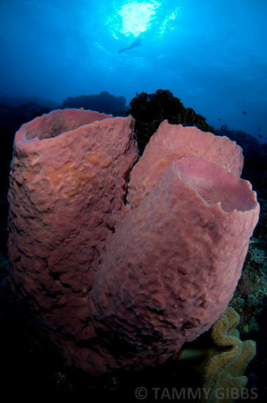 Barrel sponges and diver